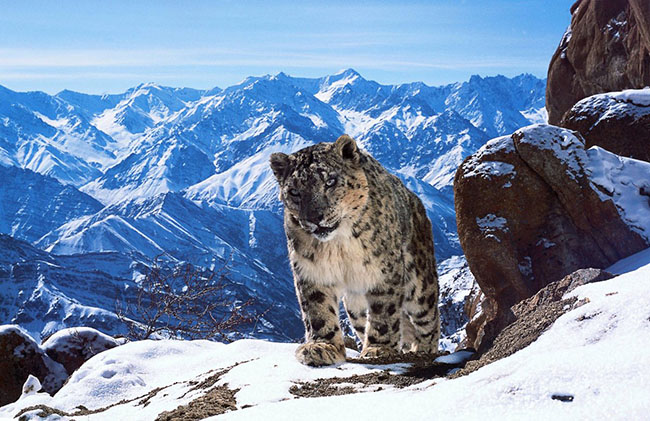 there-are-thought-to-be-fewer-than-3500-snow-leopards-in-the-wild-but-the-planet-earth-ii-team-used-the-latest-filming-technology-to-get-astonishing-new-footage (1)